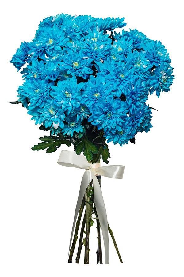 Синяя хризантема