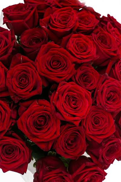 Роза Россия 60 см.